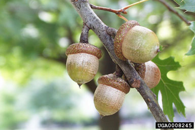 [Northern Red Oak Nuts<br>Paul Wray, Iowa State University<br>www.forestryimages.org]