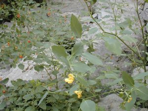 [Orange Jewelweed Photo]